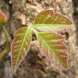 Young poison ivy leaves